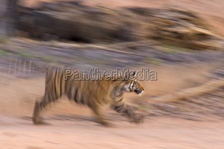 bengal tiger panthera tigris bandhavgarh madhya