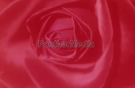 rose rosa bielefeld nrw germany
