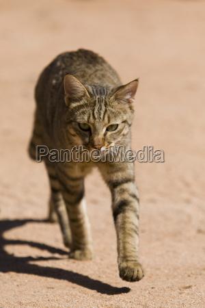 african wildcat felis libyca namibia africa