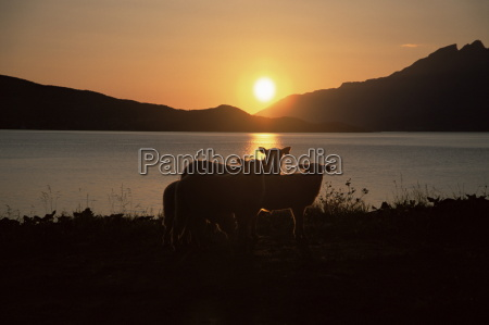sheep silhouetted against the midnight sun