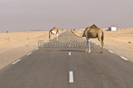 camels standing on the road between
