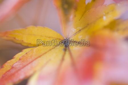 maple leaves kyoto kansai western province