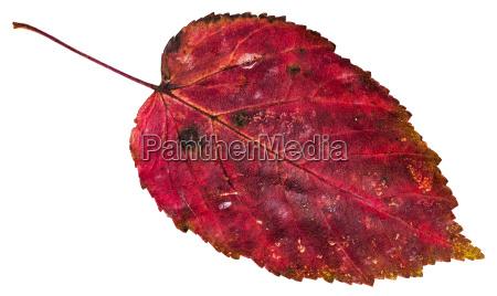 red dead leaf of ash leaved