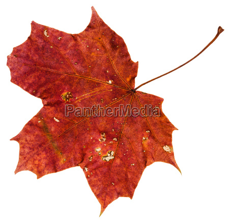 red brown autumn leaf of maple