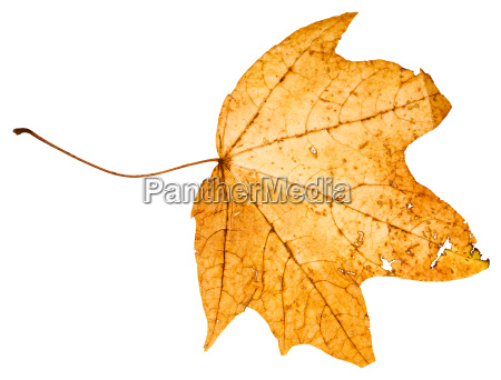 yellow died leaf of maple tree