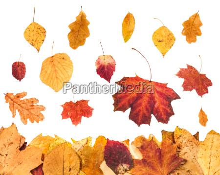 falling yellow leaves and leaf litter