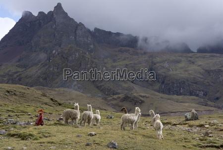 llamas and herder andes peru south