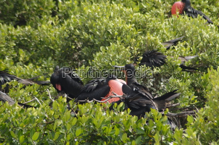 worlds largest colony of frigate birds