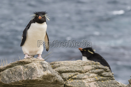 adult rockhopper penguin eudyptes chrysocome at