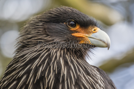adult striated caracara phalcoboenus australis known