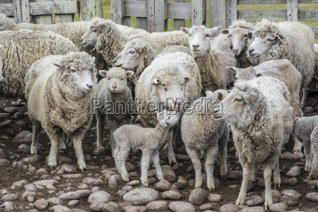 sheep waiting to be shorn at