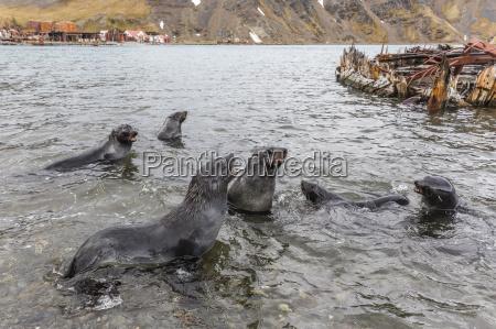 young antarctic fur seals arctocephalus gazella