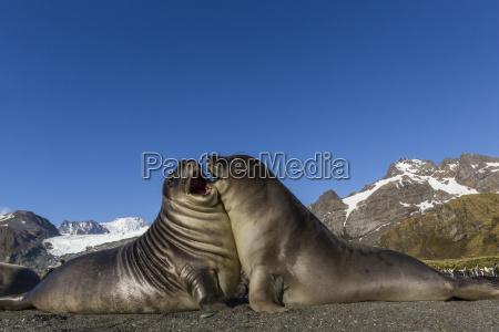 male southern elephant seal pups mirounga