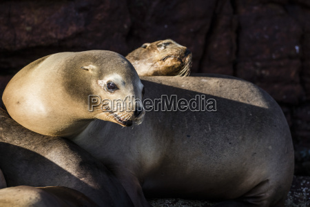 california sea lions zalophus californianus hauled