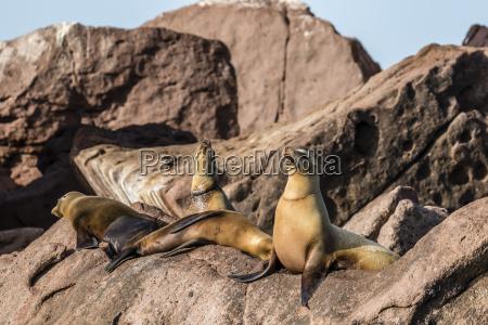 california sea lions zalophus californianus with