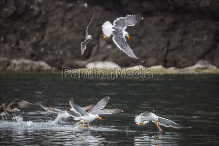 yellow footed gulls larus livens and