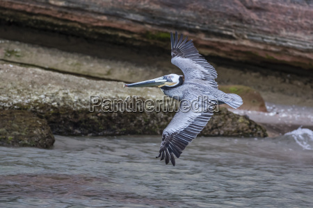 an adult brown pelican pelecanus occidentalis