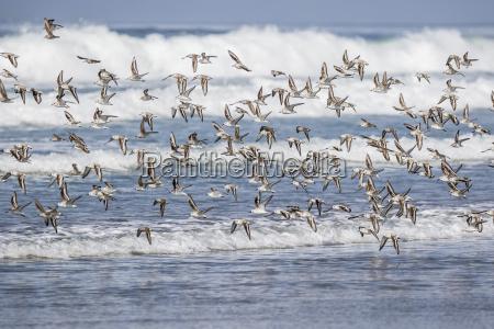 a flock of migrating sanderlings calidris