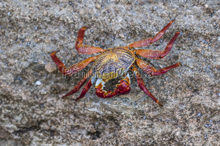 adult sally lightfoot crab grapsus grapsus