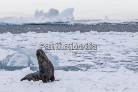 adult bull antarctic fur seal arctocephalus