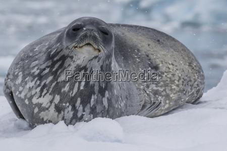 adult weddell seal leptonychotes weddellii hauled