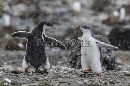 gentoo penguin chicks pygoscelis papua in