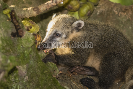 adult south american coati nasua nasua