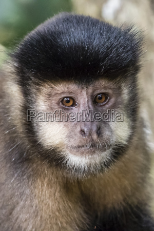 adult black capuchin sapajus nigritus head