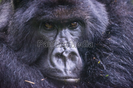 mountain gorilla gorilla beringei beringei virunga