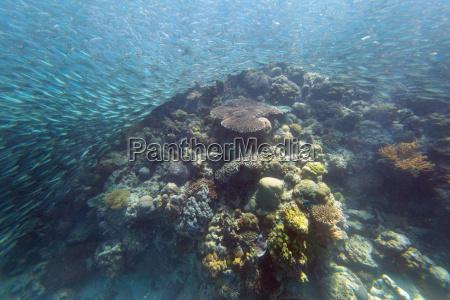 shoal of sardines panagsama beach moalboal