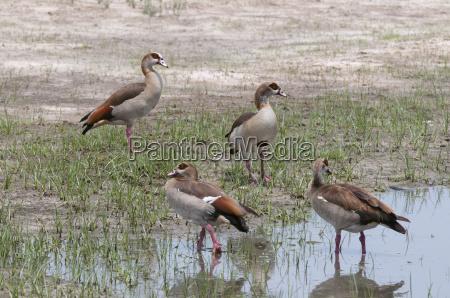 egyptian geese alopochen aegyptiaca savuti marsh