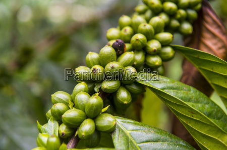close up of coffee beans rubiaceae