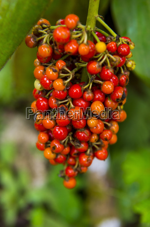 close up of red coffee berries