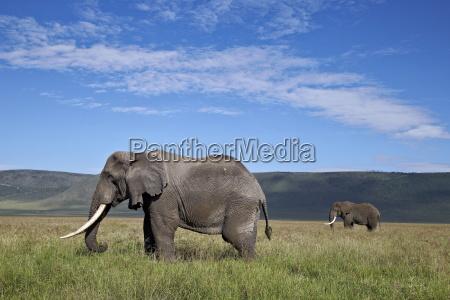two bull african elephant loxodonta africana