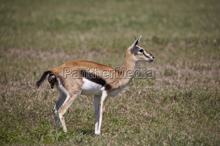 thomsons gazelle gazella thomsonii female giving