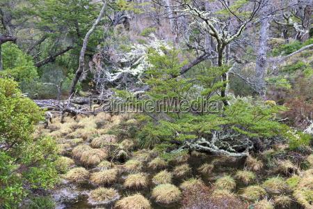 magellanic lenga nothofagus pumilio forest and
