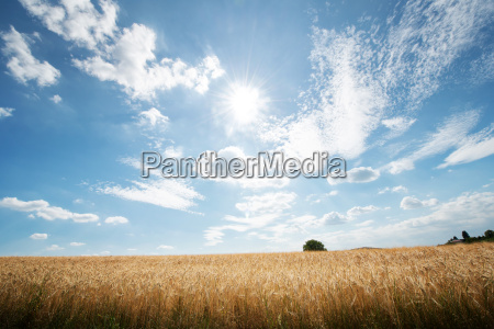 hdr capture of rye fields with
