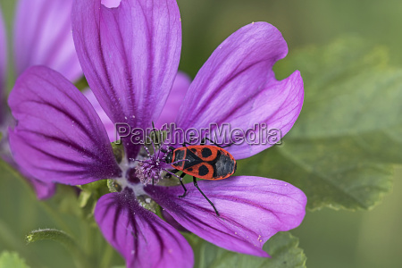 fire bug on mallow
