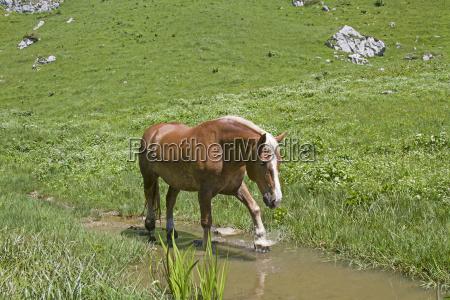 haflinger, horse, in, the, creek - 19085845
