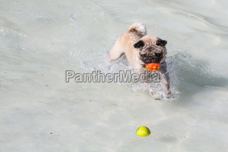 pug in water