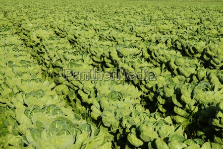 vegetable field with brussels sprouts in