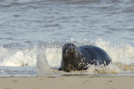 grey seal halichoerus grypus adult hauling