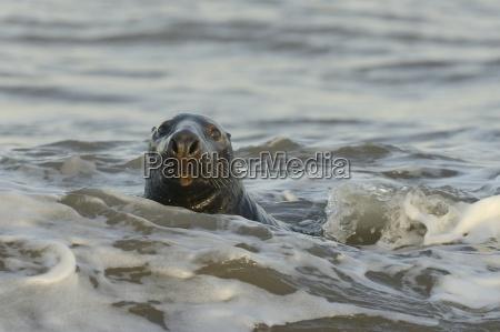 alert grey seal halichoerus grypus spy
