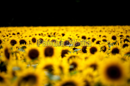sunflowers helianthus chillac charente france europe