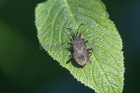 silver colored leaf bug