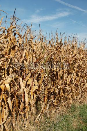 corn field in the bright sunshine