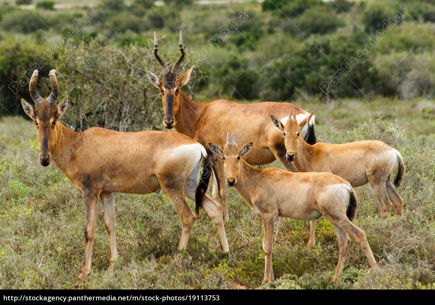 the, family, -, red, harte-beest, - - 19113753