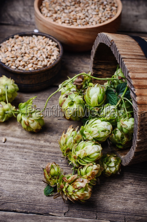autumn, hop, harvest - 19116563