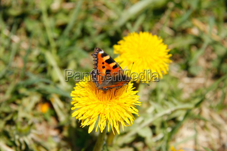 butterfly on dandelion blossom on a