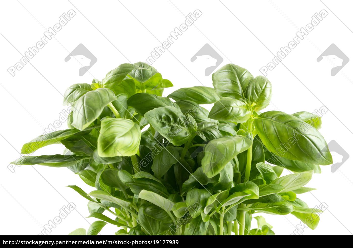 fresh, green, leaf, basil - 19127989